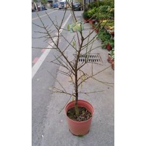 熱帶大梅  果樹植栽