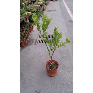 茂谷橘  果樹植栽