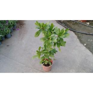 神秘果  果樹植栽