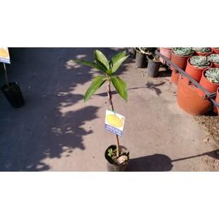 黃蜜文芒果 果樹植栽