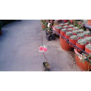 紅寶石甜桃 果樹植栽