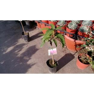 愛文芒果 果樹植栽