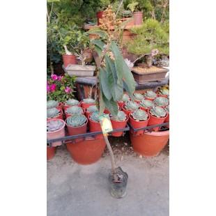 大粒黃金枇杷 果樹植栽