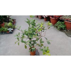 熱帶巴西櫻桃 果樹植栽