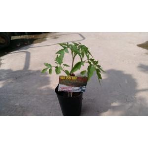 番茄樹 果樹植栽
