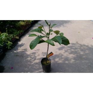 紅肉榴槤蜜  果樹植栽
