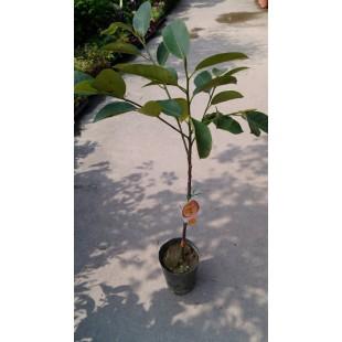甜滋榴槤蜜  果樹植栽