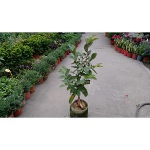 四季珍珠芭樂 果樹植栽