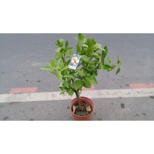 帝王柑  果樹植栽