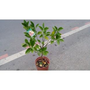 臍橙  果樹植栽
