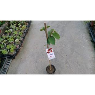 大果香榛 果樹植栽