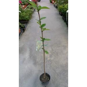開心果 果樹植栽
