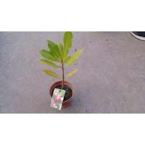 腰果 果樹植栽