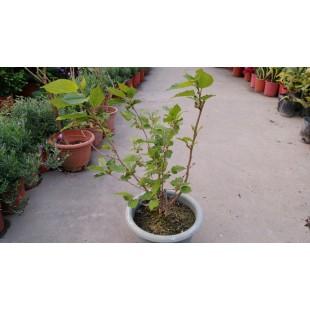 大果桑椹  果樹植栽