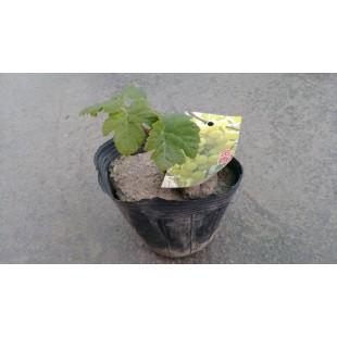 金香指葡萄 果樹植栽