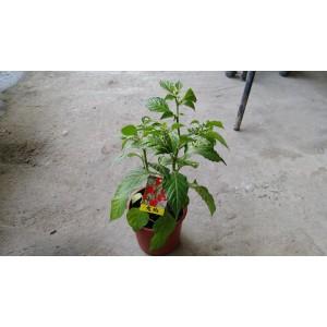 鬼椒  果樹植栽