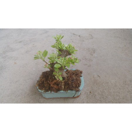 姬蘋果 果樹植栽