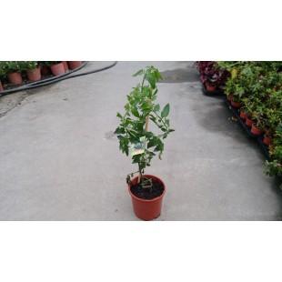 黑番茄  果樹植栽