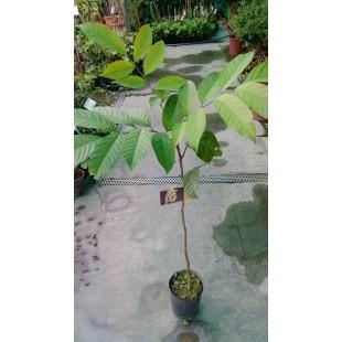 大果龍貢 果樹植栽