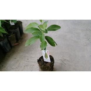 金力士酪梨  果樹植栽