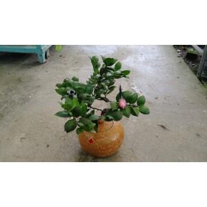 日本竹柏(葫蘆) 賀禮盆栽