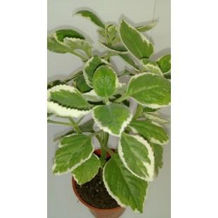 斑葉到手香 香草植物