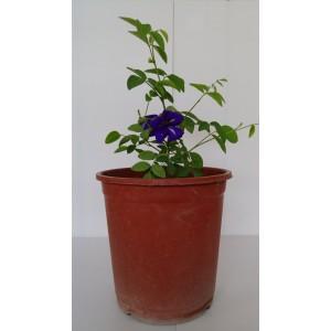 蝶豆  香草植物
