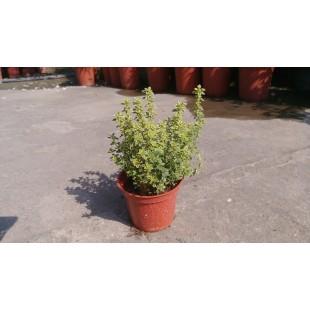 百里香 香草植物