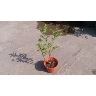 甜菊  香草植物