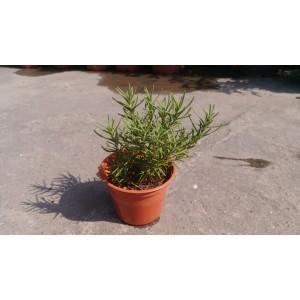 迷迭香 香草植物