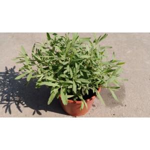 甜薰衣草 香草植物