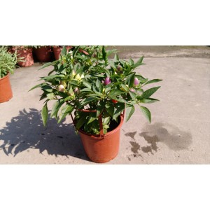 五彩椒 香草植物