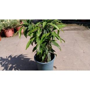 天仙果 香草植物