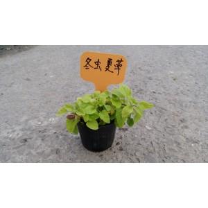 冬蟲夏草 香草植物