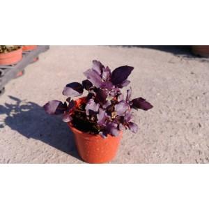 紫羅勒 香草植物