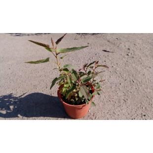 尤加利 香草植物