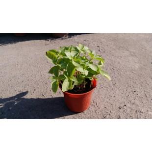 九重塔 香草植物