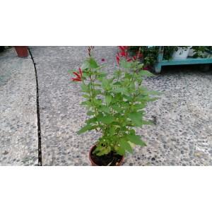 鳳梨鼠尾草 香草植物