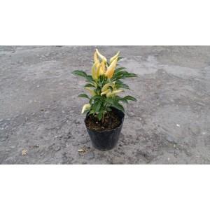 朝天椒 香草植物