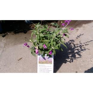 墨西哥鼠尾草 香草植物