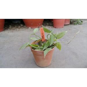 香草莢 香草植物