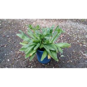 刺芫荽 香草植物
