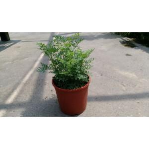 芸香 香草植物